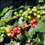 Засуха в КНР нанесла огромный ущерб кофейным плантациям страны