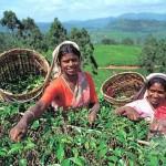 Шри-Ланка – королевство чая