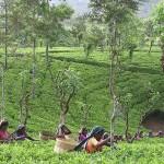 Как определить происхождение чая?