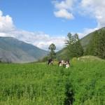 В Республике Алтай открылось производство чая
