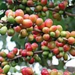 Сорта кофе: Робуста