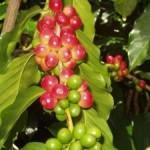 Кофе из Вьетнама будет немного