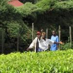 Цены на чай не должны беспокоить покупателей