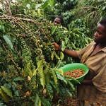 Появлению новых сортов кофе мешает недостаток финансирования