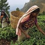 Индийский чай меняется из-за климата