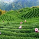 Китай демонстрирует лидерство в чайном деле