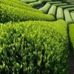 Чайные плантации в Азербайджане сокращаются