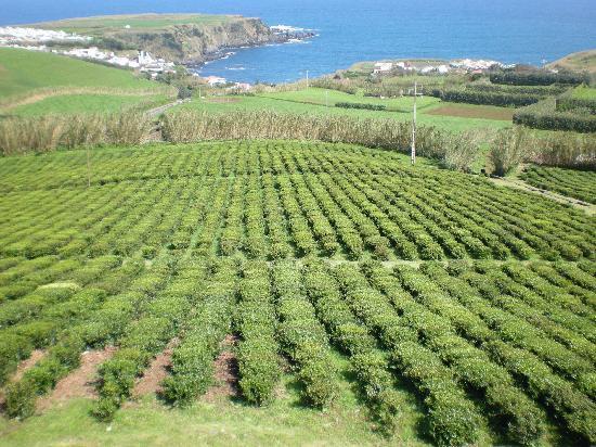 Чайные плонтации на азорских островах