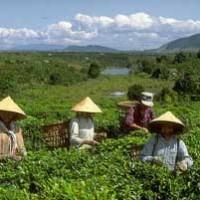 Чай во Вьетнаме