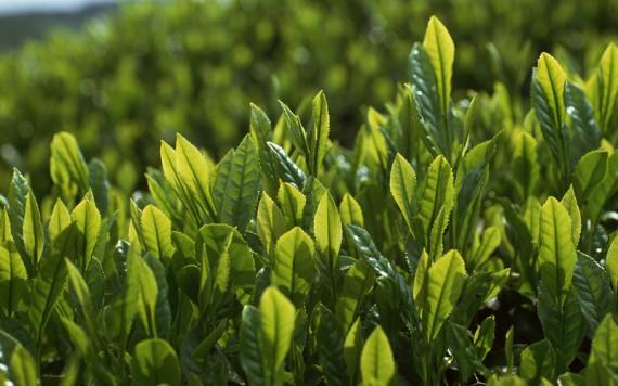 как зеленый чай влияет на похудение