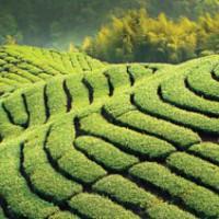 Китай-чай
