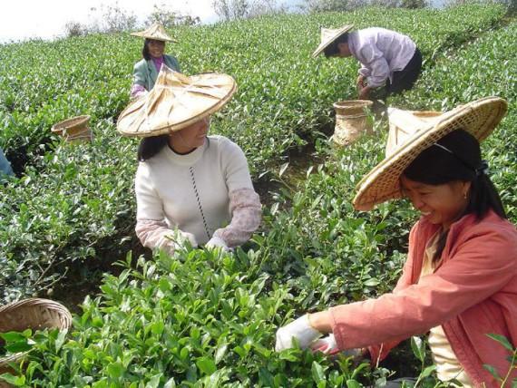 На плантации Цзюхуа будут собирать чай девственницы