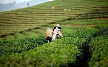 Фермеры Северной Америки начали выращивать дорогие сорта чая