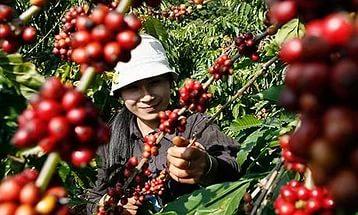 Экспорт кофе с Вьетнама