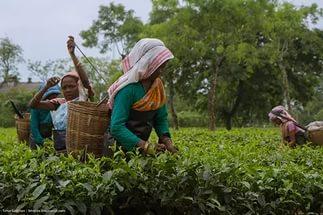 чай отрасль